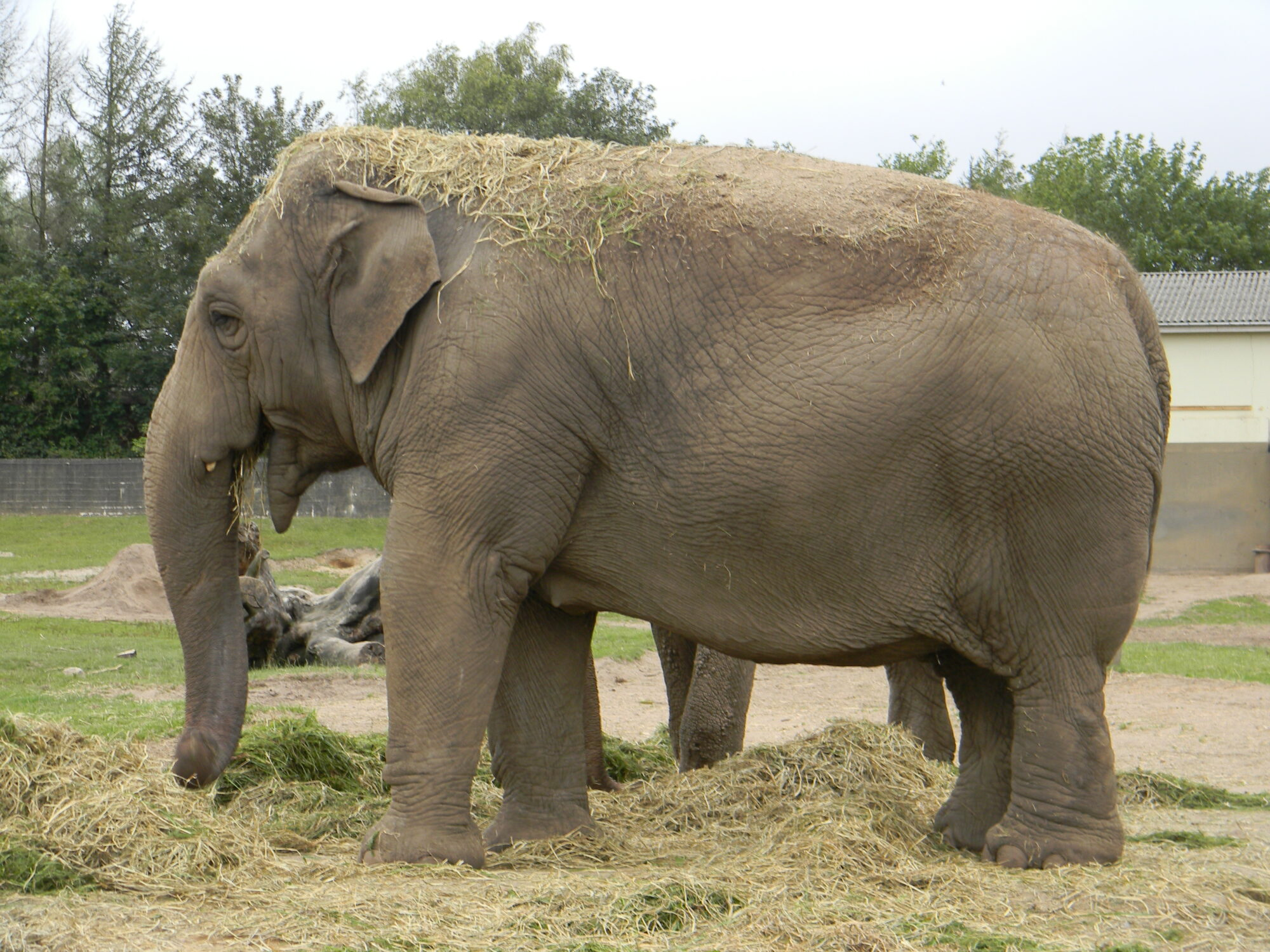 Elefant i Givskud Zoo