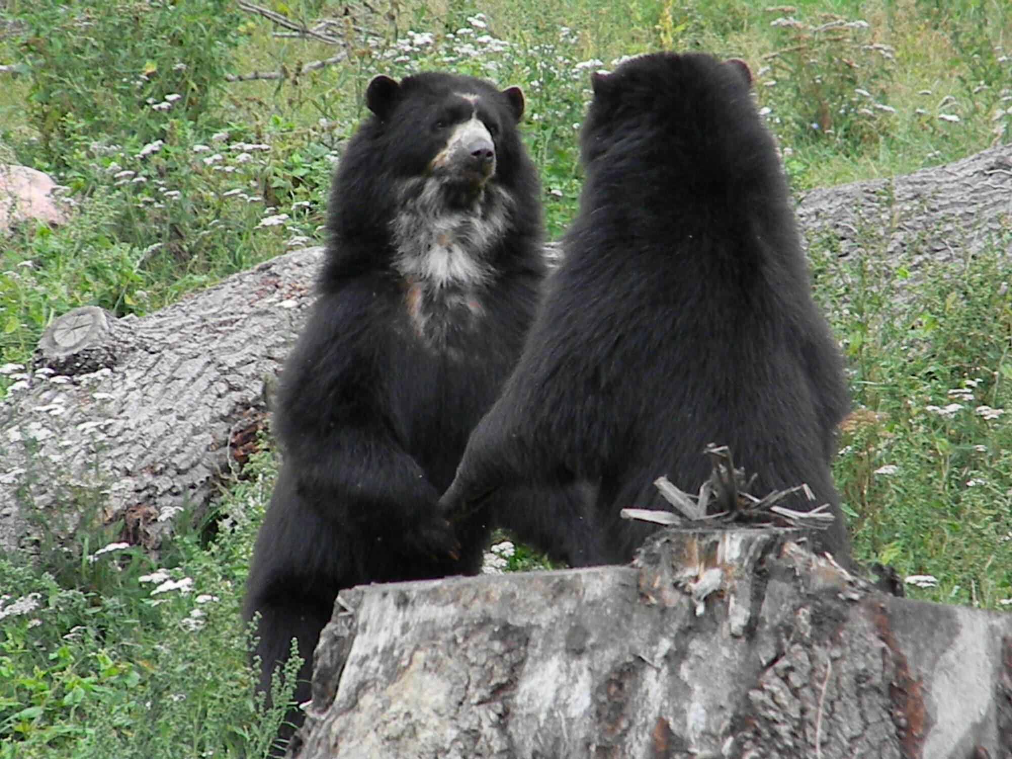 Bamse bjørne i Givskud Zoo