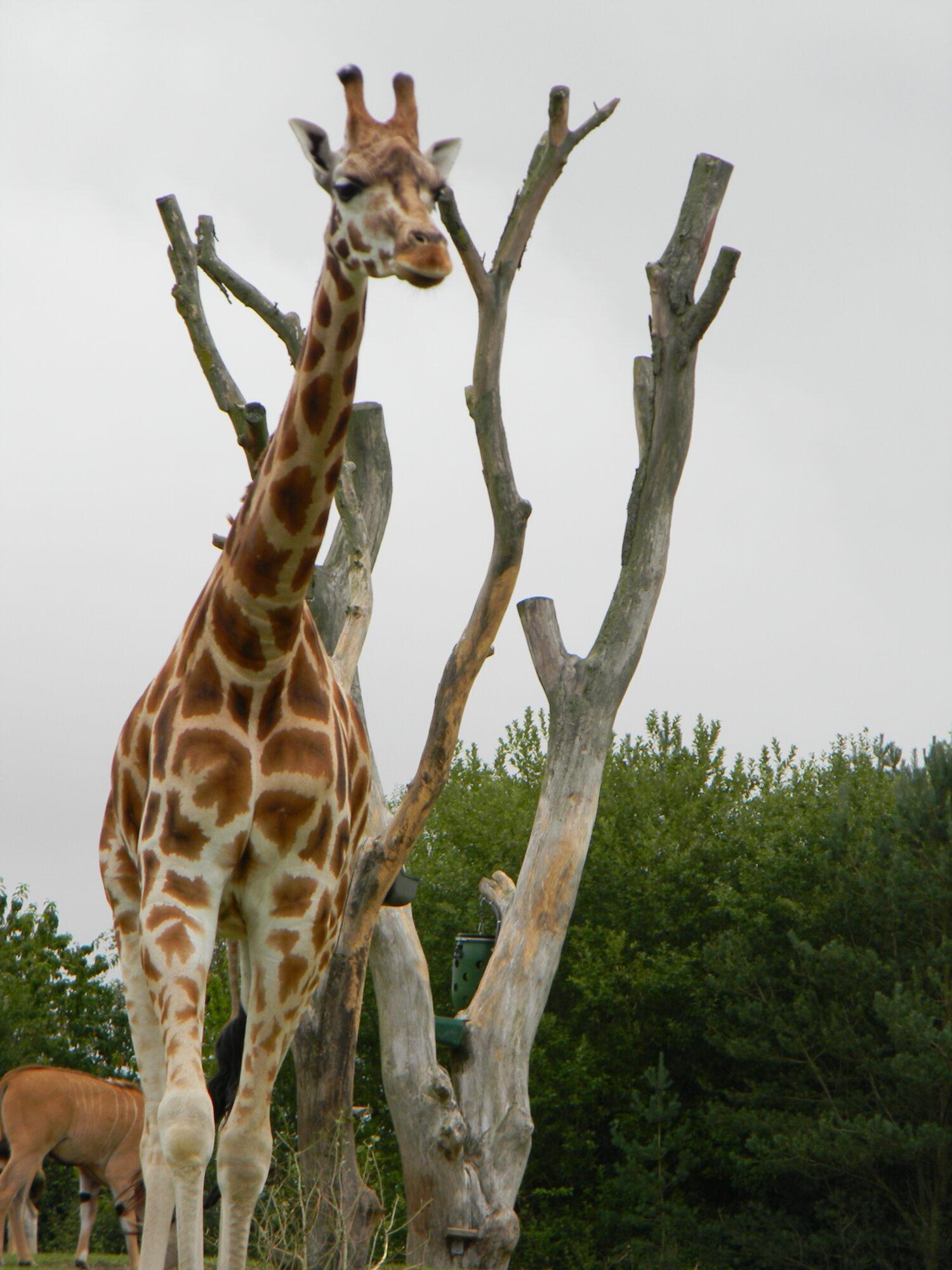 Giraf i Givskud Zoo