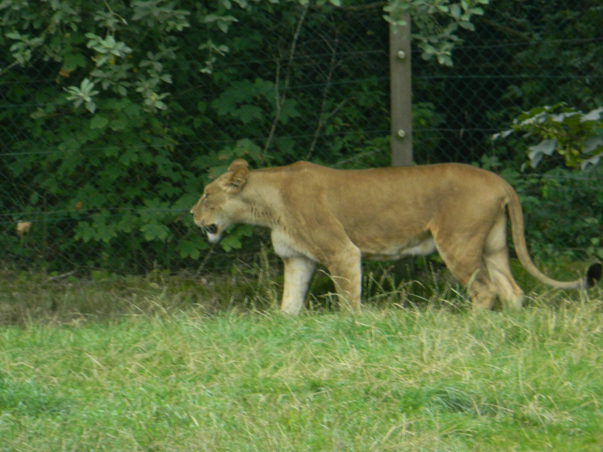 Løvinde i Givskud Zoo