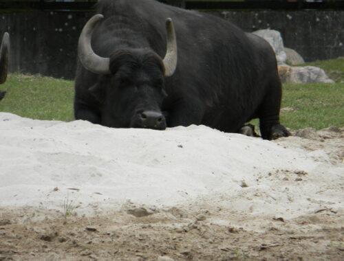 Yakokse i Givskud Zoo
