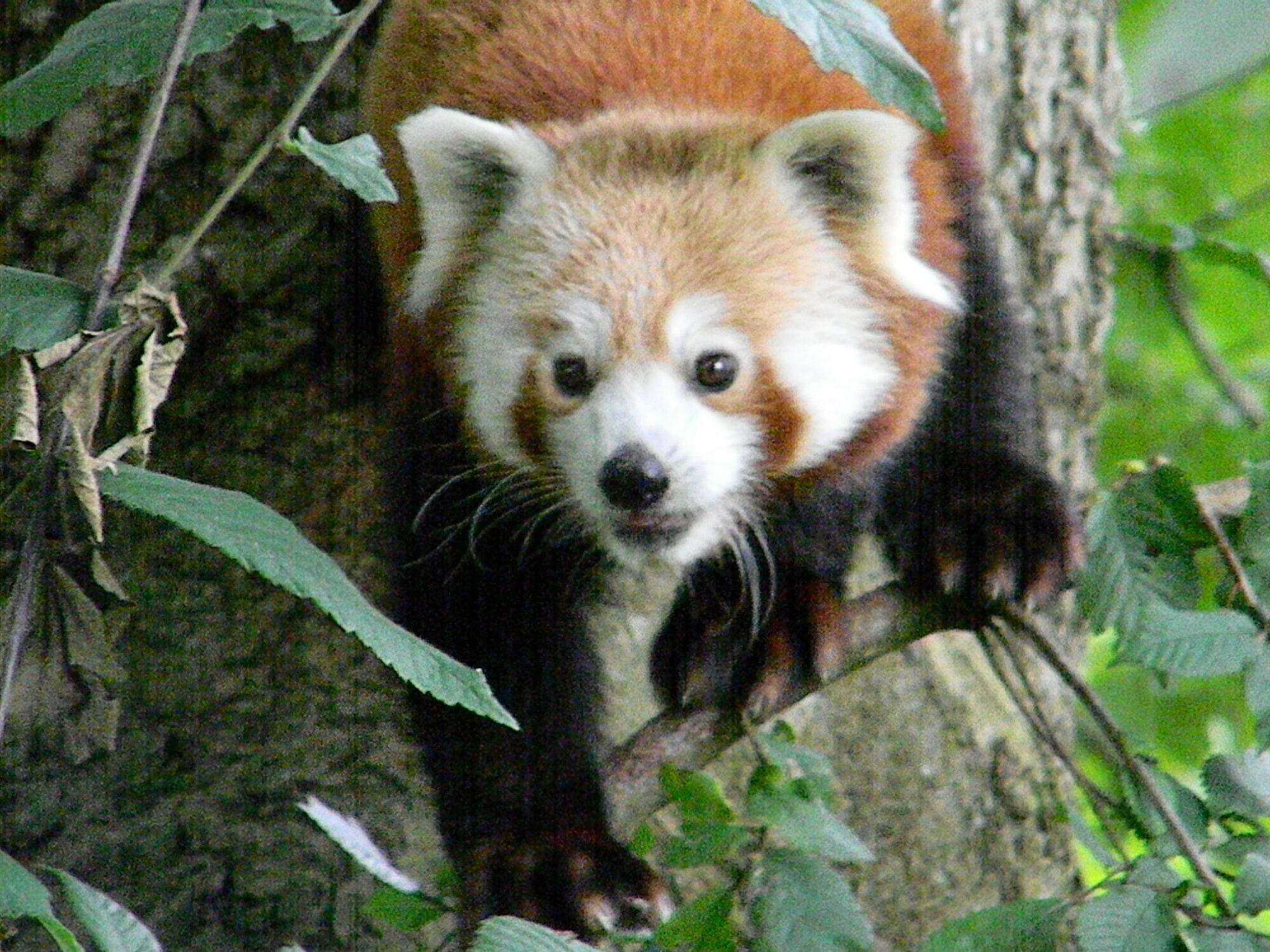 Rød panda i Givskud Zoo