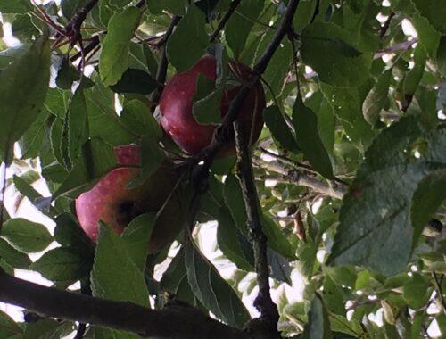 Smukke æbler