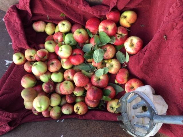 Nyplukkede æbler til æblemost og æbleplukker